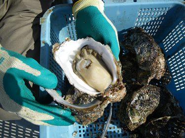 伊根町で岩牡蠣を食べれるお店